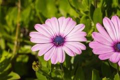 Nuances de lavande d'akila d'Osteospermum Images libres de droits