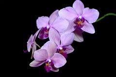 Nuances de rose sur la fleur d'orchidée de Phalaenopsis Image libre de droits