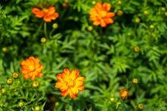 Nuances de sulphureus orange et jaune de cosmos de couleur parmi le vert Images libres de droits