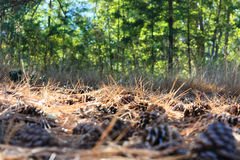 Nub cones 1. Forest ground paved with nub cones Stock Photos