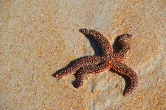 Nubby red starfish laying on sand Royalty Free Stock Photos