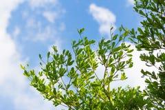 Nube del cielo azul de la hoja del árbol de almendra de Costa de Marfil Imágenes de archivo libres de regalías