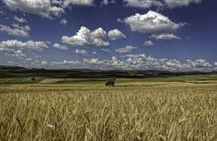 Nubes blancas suaves mullidas en un cielo azul profundo sobre campos de trigo amarillos de oro Fotos de archivo