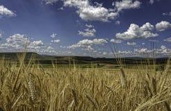 Nubes blancas suaves mullidas en un cielo azul profundo sobre campos de trigo amarillos de oro Foto de archivo