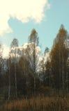Nubes brillantes sobre la arboleda del abedul del otoño Fotos de archivo libres de regalías