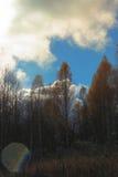 Nubes brillantes sobre la arboleda del abedul del otoño Imágenes de archivo libres de regalías
