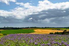 Nubes de lluvia oscuras sobre campos agrarios con el trigo, las remolachas y el phacelia, comida de la abeja, tansy púrpura, scor Fotos de archivo