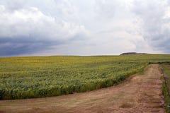 Nubes de tormenta sobre los girasoles Imagenes de archivo