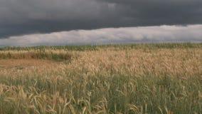 Nubes de tormenta sobre un campo de grano amarillo almacen de metraje de vídeo