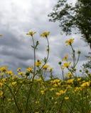 Nubes grises sobre las flores amarillas imagen de archivo