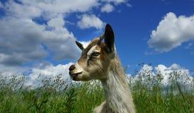 Nubes jovenes hermosas de la cabra y del hierba y blancas Fotografía de archivo libre de regalías