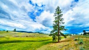 Nubes oscuras que cuelgan sobre árboles de pino de Lodgepole en la Rolling Hills en una región seca del Okanagen a lo largo de la imágenes de archivo libres de regalías