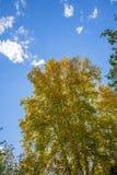 nubes y abedul blanco en el otoño Fotografía de archivo