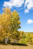 nubes y abedul blanco en el otoño Imágenes de archivo libres de regalías