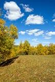 nubes y abedul blanco en el otoño Fotos de archivo libres de regalías