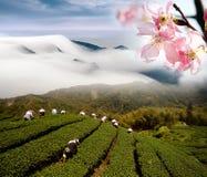 Nubi e giardino di tè drammatici Fotografia Stock