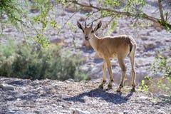nubian山羊属的高地山羊 免版税库存照片