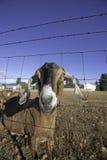 Nubian山羊捅通过范围。 图库摄影