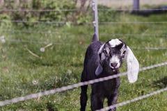 nubian山羊的孩子 免版税库存照片