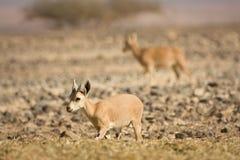 nubian山羊的高地山羊 库存图片