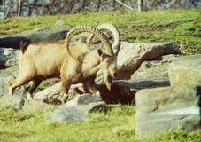 nubian山羊的高地山羊 免版税库存图片