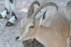 nubian的高地山羊 免版税图库摄影