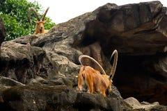 nubian的高地山羊 库存图片