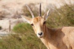 nubian的高地山羊 免版税库存照片