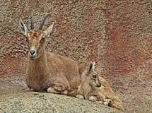 nubian的高地山羊 图库摄影