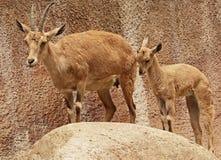 nubian的高地山羊 免版税库存图片