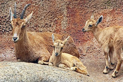 nubian的高地山羊 库存照片