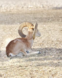 nubian美丽的弯曲的垫铁的高地山羊 免版税库存图片