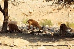 Nubian高地山羊在死海的,以色列Ein Gedi (Nahal Arugot) 免版税图库摄影