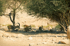 Nubian高地山羊在死海的,以色列Ein Gedi (Nahal Arugot) 免版税库存图片