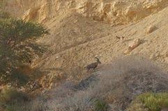 Nubian高地山羊在Nahal Shani,在埃拉特附近的红色峡谷走 图库摄影