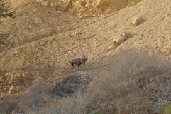 Nubian高地山羊在Nahal Shani,在埃拉特附近的红色峡谷走 免版税库存照片