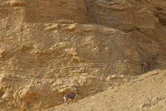 Nubian高地山羊在Nahal Shani,在埃拉特附近的红色峡谷走 库存图片