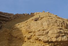 Nubian高地山羊在Nahal Shani,在埃拉特附近的红色峡谷走 库存照片