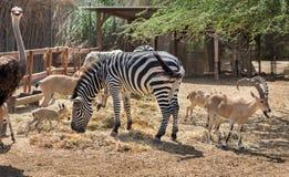 Nubian高地山羊山羊属nubiana、驼鸟和斑马 库存图片