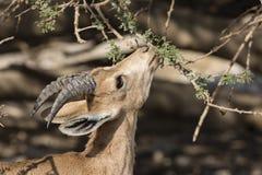 Nubian高地山羊,在死海的Ein Gedi 免版税库存照片