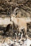 Nubian高地山羊,在死海,以色列的Ein Gedi 免版税库存图片