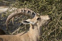 Nubian高地山羊,在死海,以色列的Ein Gedi 库存照片