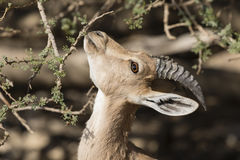 Nubian高地山羊,在死海,以色列的Ein Gedi 库存图片