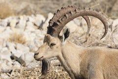 Nubian高地山羊,在死海,以色列的Ein Gedi 图库摄影
