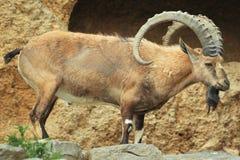 Nubian高地山羊 库存图片