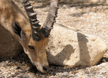 Nubian高地山羊 免版税库存照片