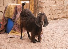 Nubian сложило козу стоковое изображение rf
