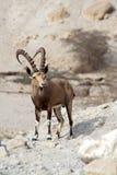 高地山羊nubian的以色列 免版税图库摄影