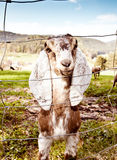 山羊nubian春天 免版税库存照片