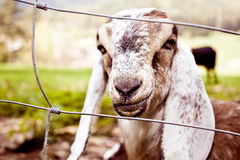 山羊nubian春天 免版税库存图片